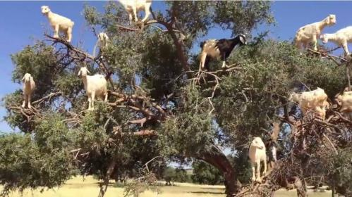 Click image for larger version.  Name:goat.jpg Views:29 Size:39.5 KB ID:1017842
