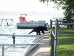 2930722-Bear_Barely_Makes_it_To_the_Dock-Houghton_Lake.jpg